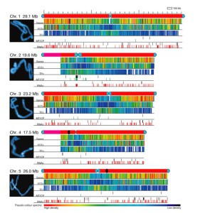 Arabiopsis chromosone sequence Source: Analysis of the genome sequence of the flowering plant Arabidopsis thaliana, Journal of Nature, December 14, 2000